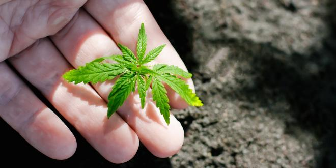 Hand closeup of farmer with hemp seedling outdoors.